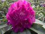 Baumschule Sortiment, Rhododendron Hybrid, Rhododendron Wildart