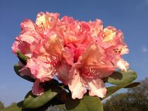 Rhododendron orange Alpenrose Großblumig