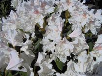 Rhododendron weiß Alpenrose Großblumig Heckenpflanze