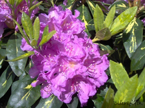 Rhododendron lila Alpenrose Großblumig
