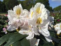 Rhododendron weiß Alpenrose Großblumig