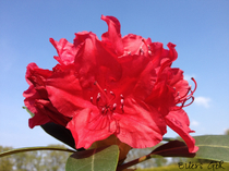 Rhododendron rot Alpenrose Großblumig