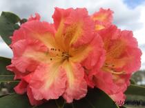 Rhododendron rosagelb Alpenrose Großblumig